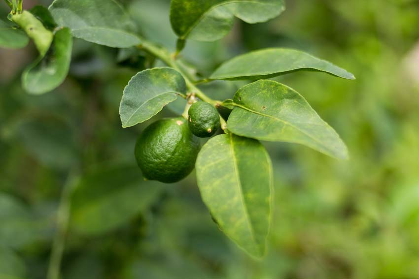 Baby limes on the tree