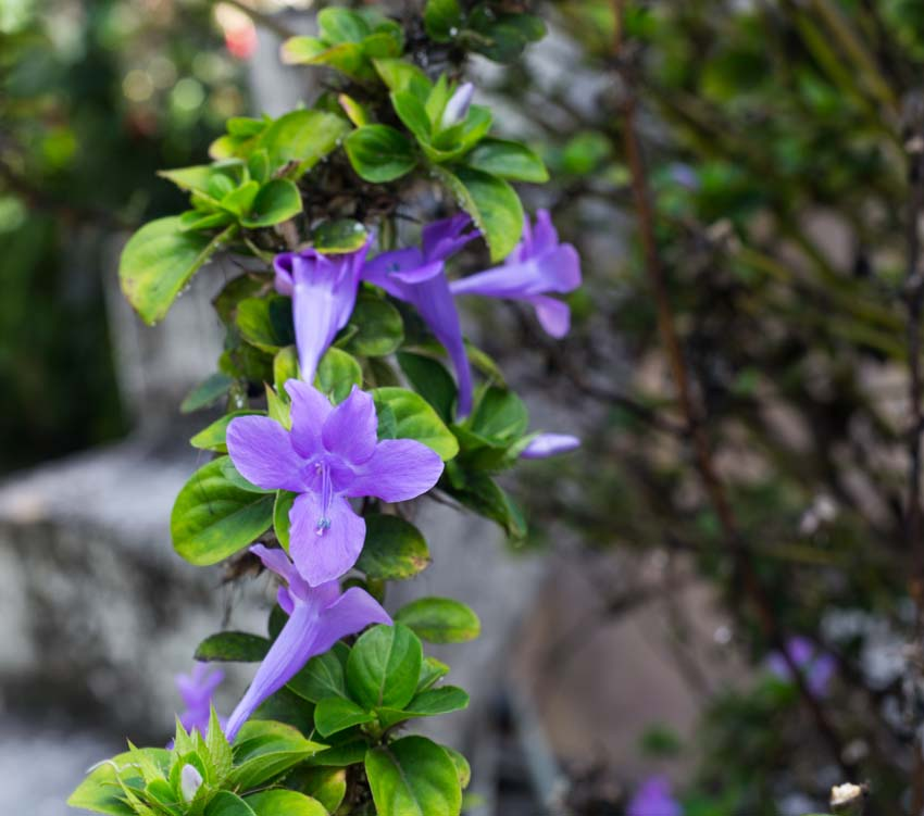 Unknown lavender trumpet blossom