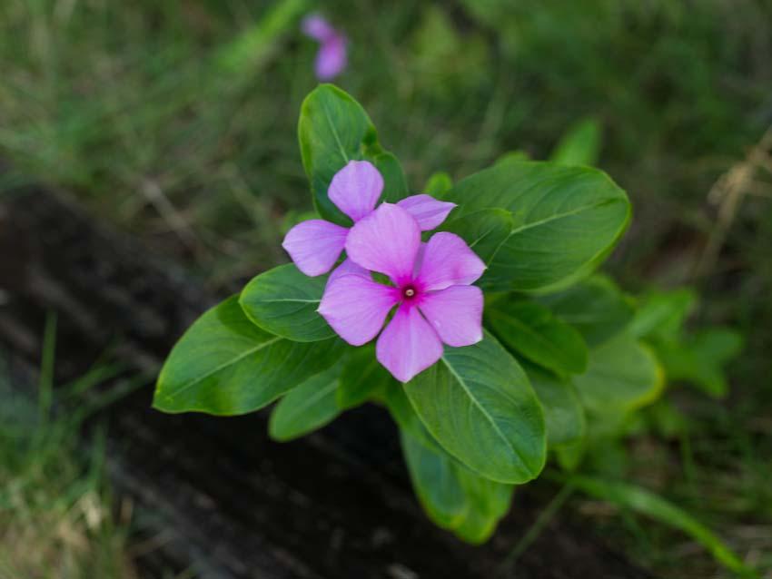 Unknown magenta blossom