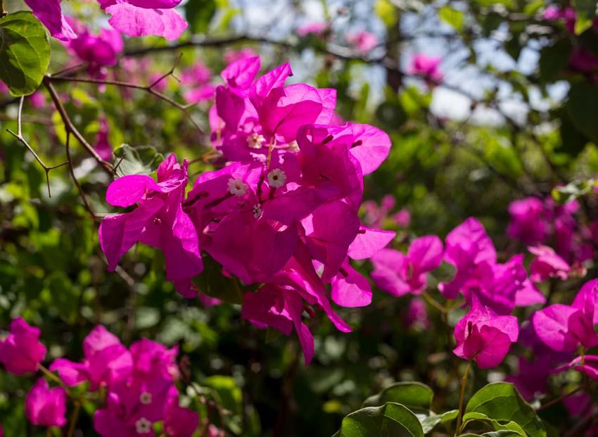 Unknown magenta bush flowers