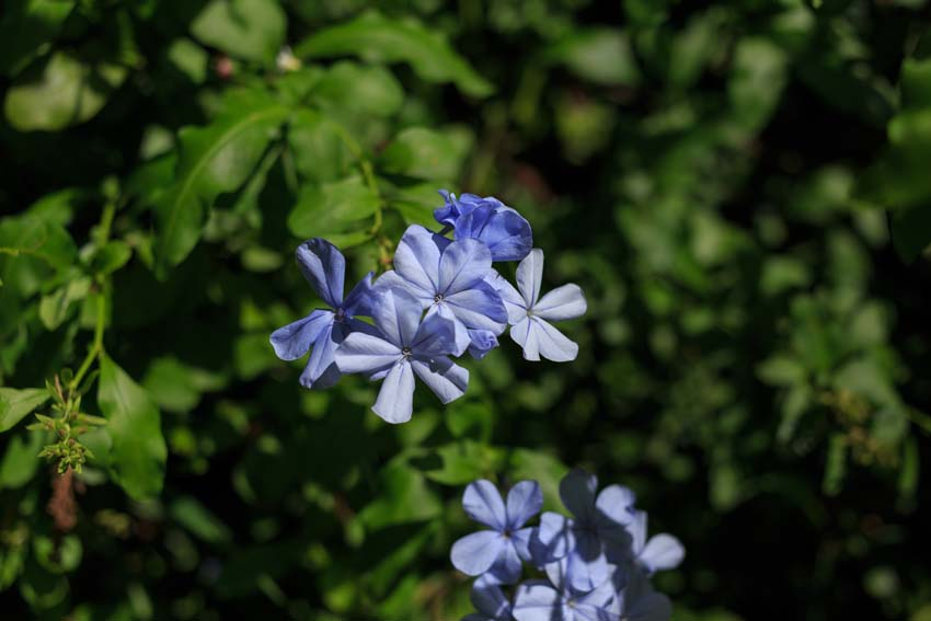 Unknown blue flower